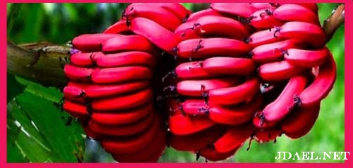 فوائد الموز الاحمر في تحسين وظائف الجسم